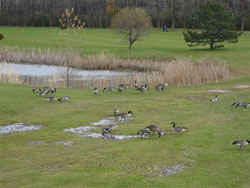 Migratory birds that have their habitat on the course. Photo by P.W.